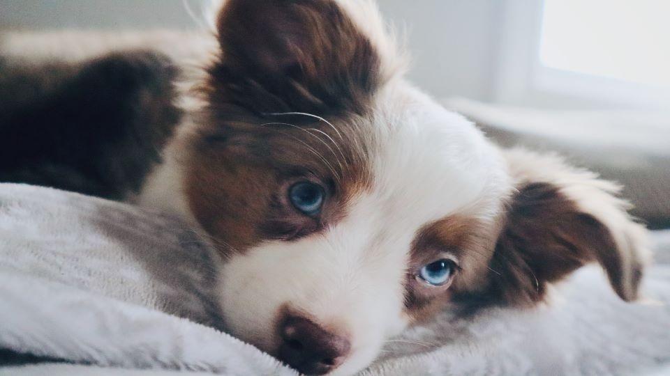 Australian Shepherd puppy with blue eyes