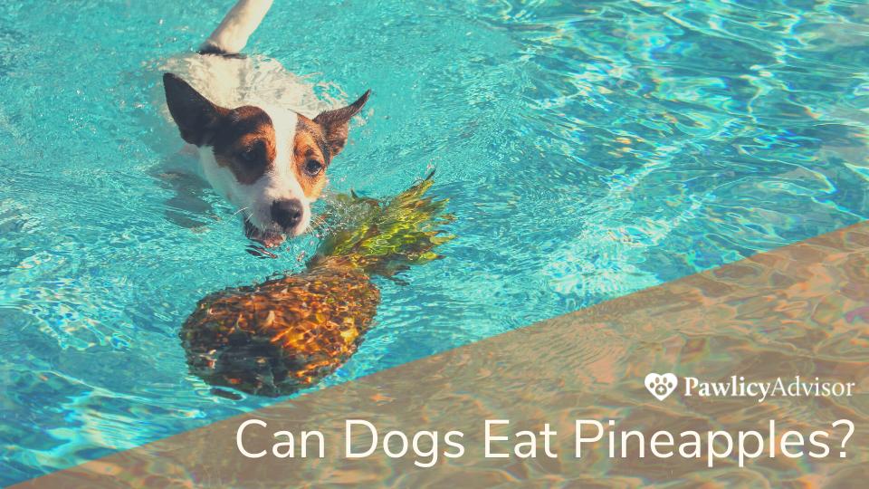 Jack Russel dog swimming in pool toward pineapple