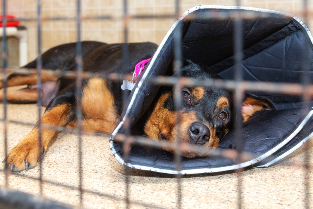 dog with parovirus in cage with cone
