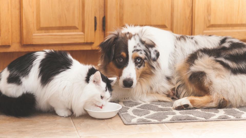 Dog wants cat food
