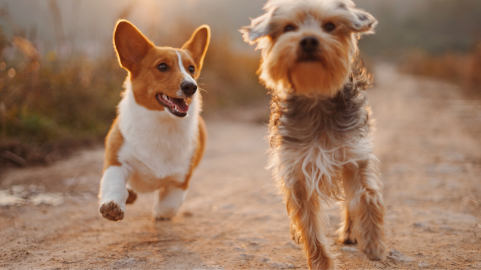 Two dogs running happy and healthy