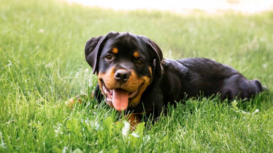 Rottweiler puppy laying in field