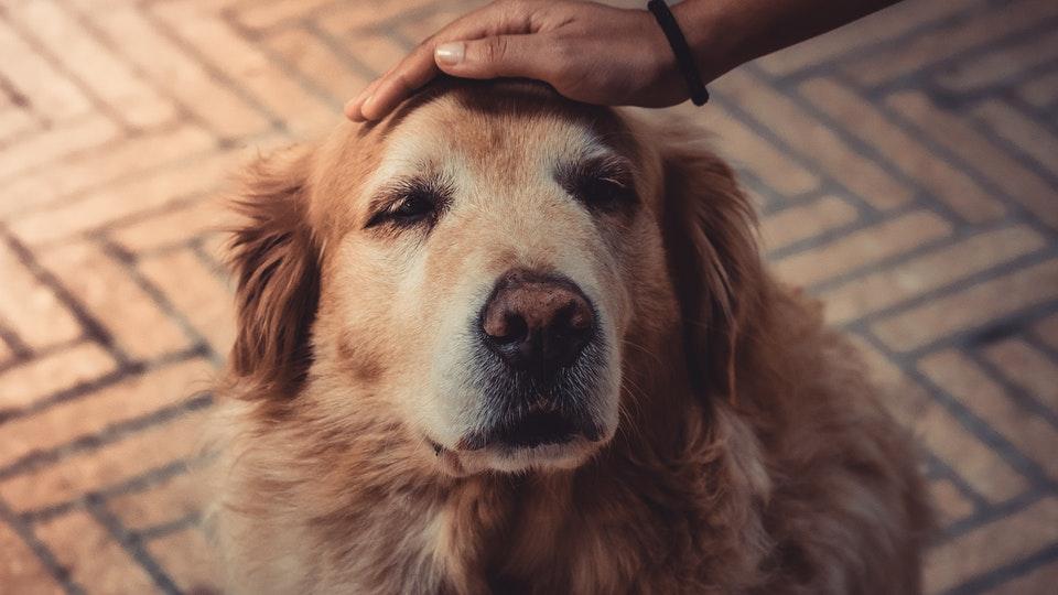Golden Retriever pet on head