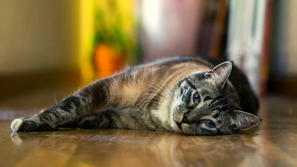 Cat with blue eyes lying on the ground
