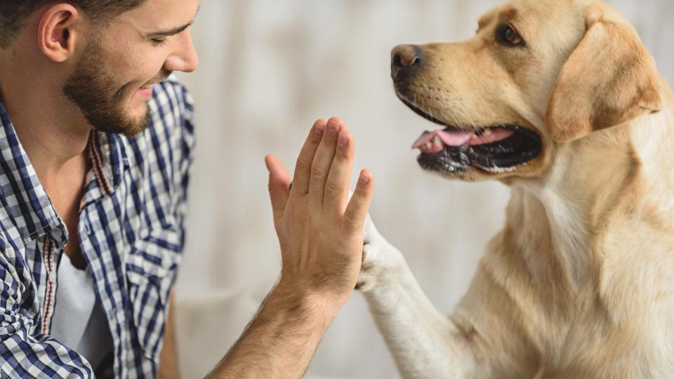Man giving high five to yellow Labrador Retriever