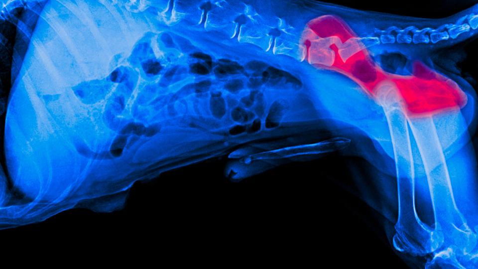 X-ray of Hip Dysplasia in Dog