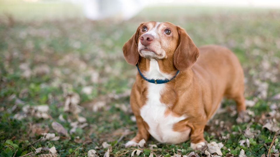 increased pot belly of a dog with cushing disease