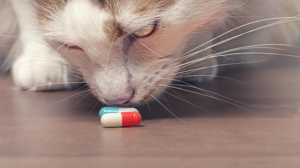 Cat looking at pill capsules on the floor
