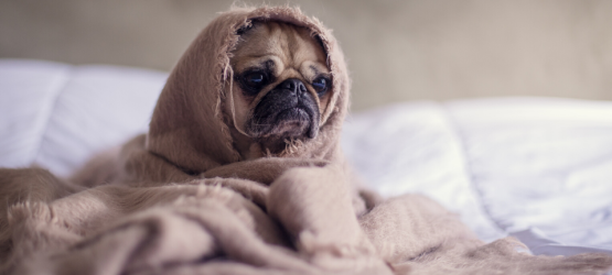 pug with pre-existing condition wrapped in a blanket