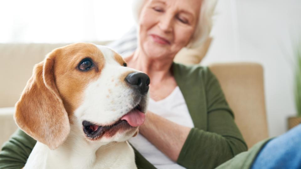 Old Beagle dog sitting next to senior woman