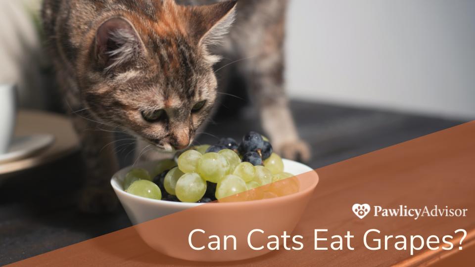 Cat staring at a bowl of grapes