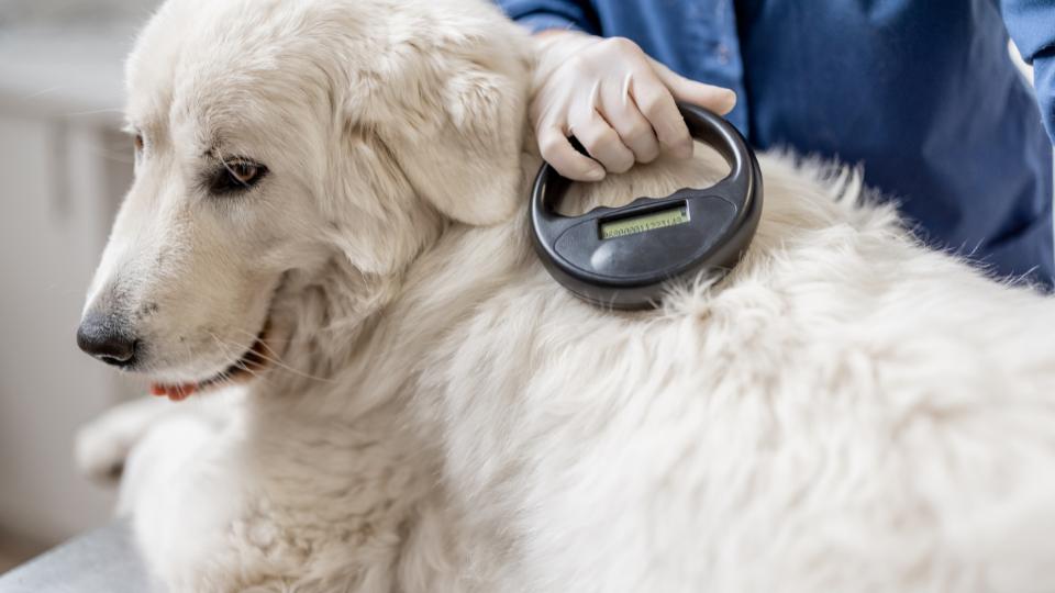 Vet scanning dog microchip