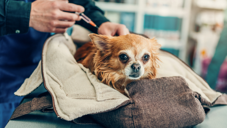 Small dog in carrier receiving a shot