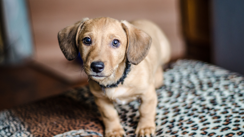 Dachshund puppy at home in bedroom