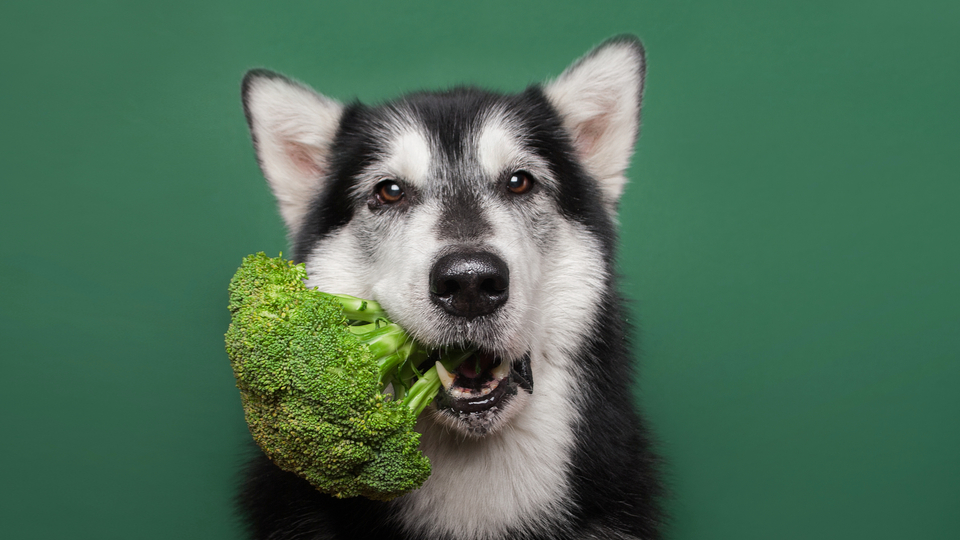 dog with broccoli in mouth