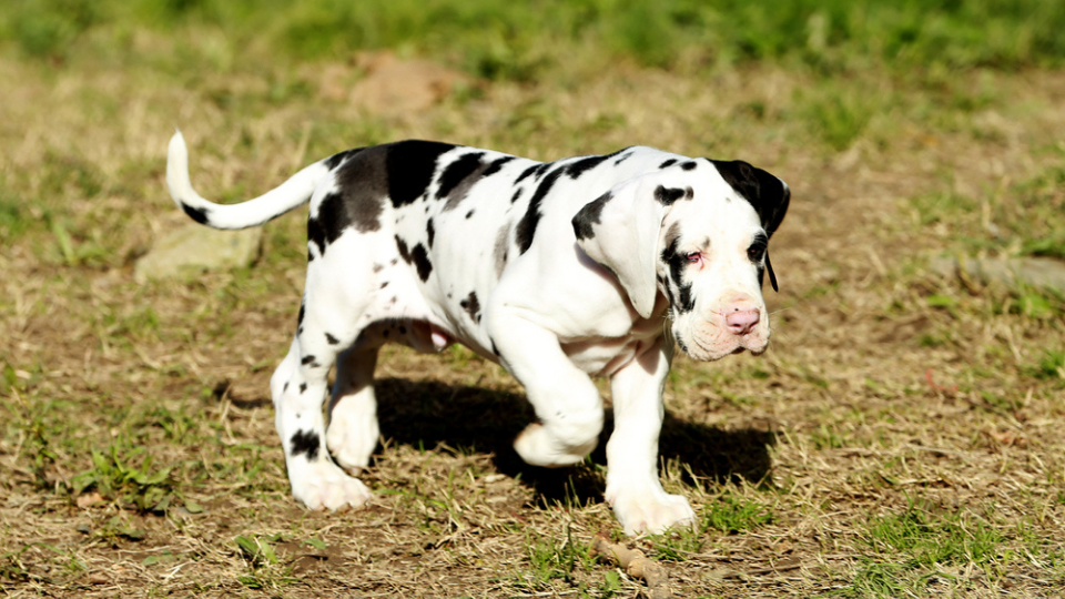 growing great dane puppy