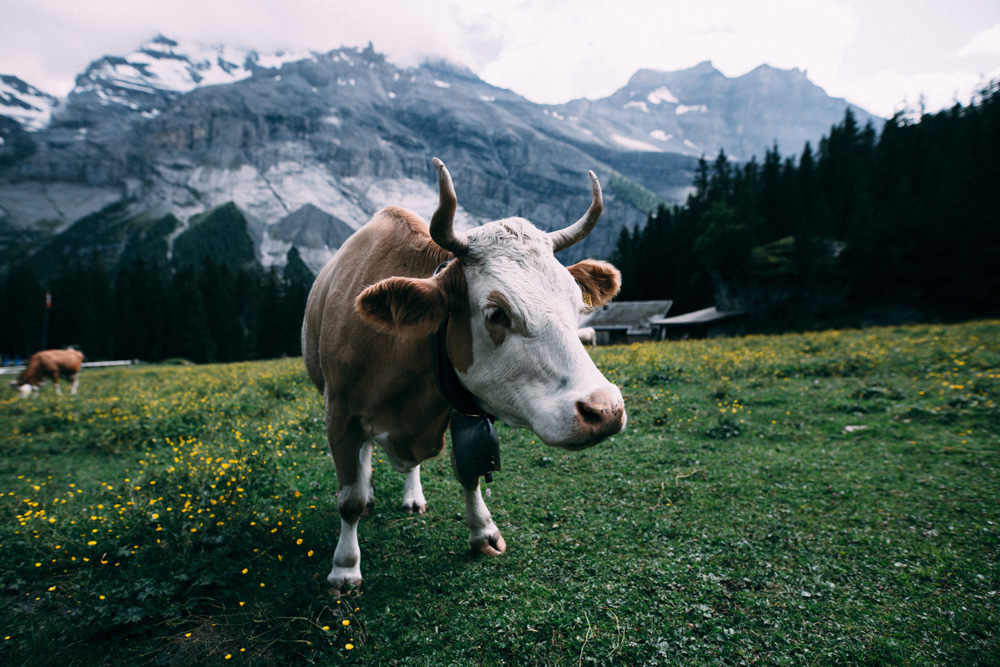 A cow in the mountains of Switzerland