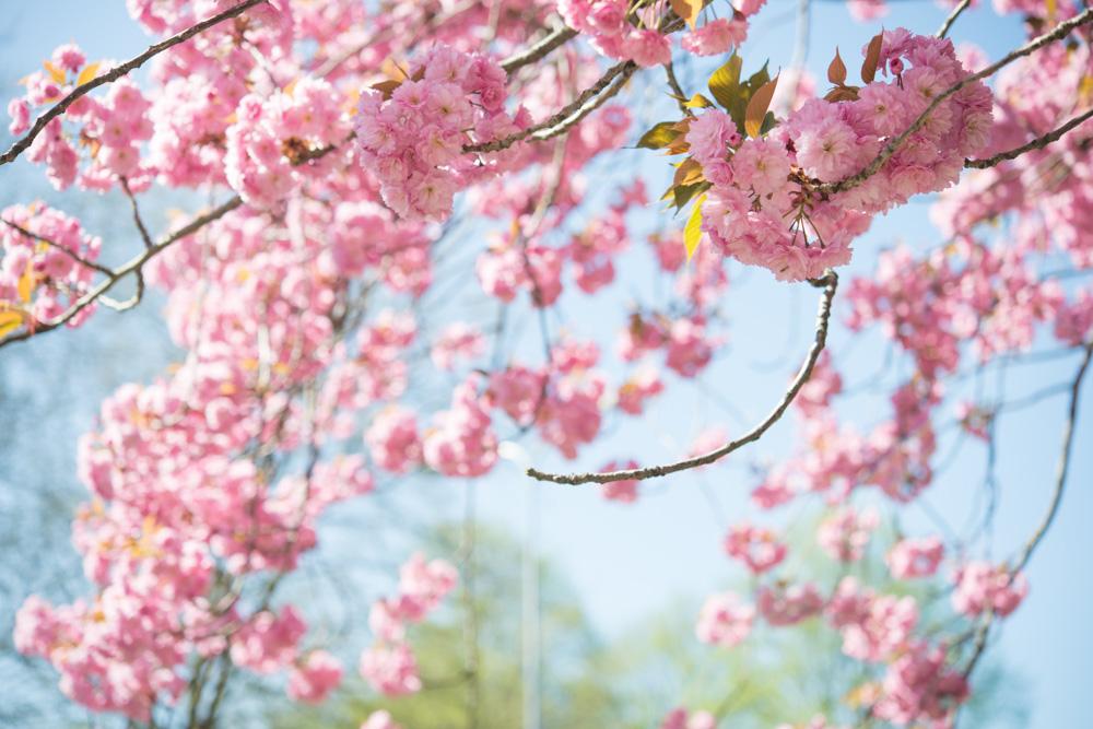 Enjoying cherry blossom in Europe