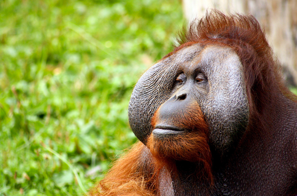 Orangutan - Malaysian Borneo