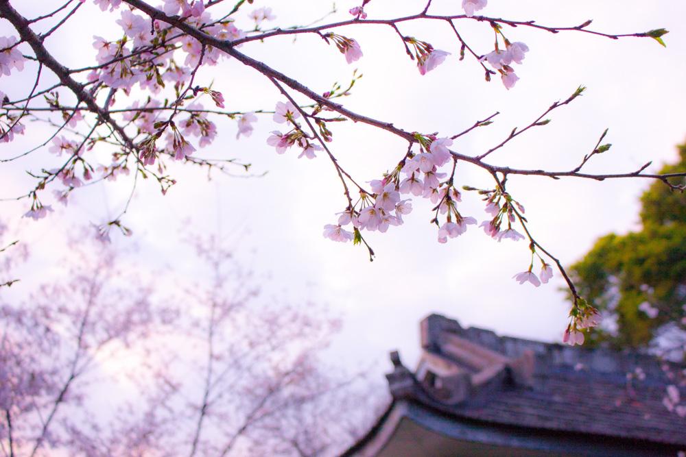Sakura blooming - Spring in Japan