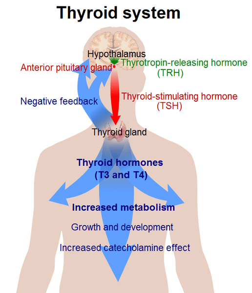 516px-Thyroid system
