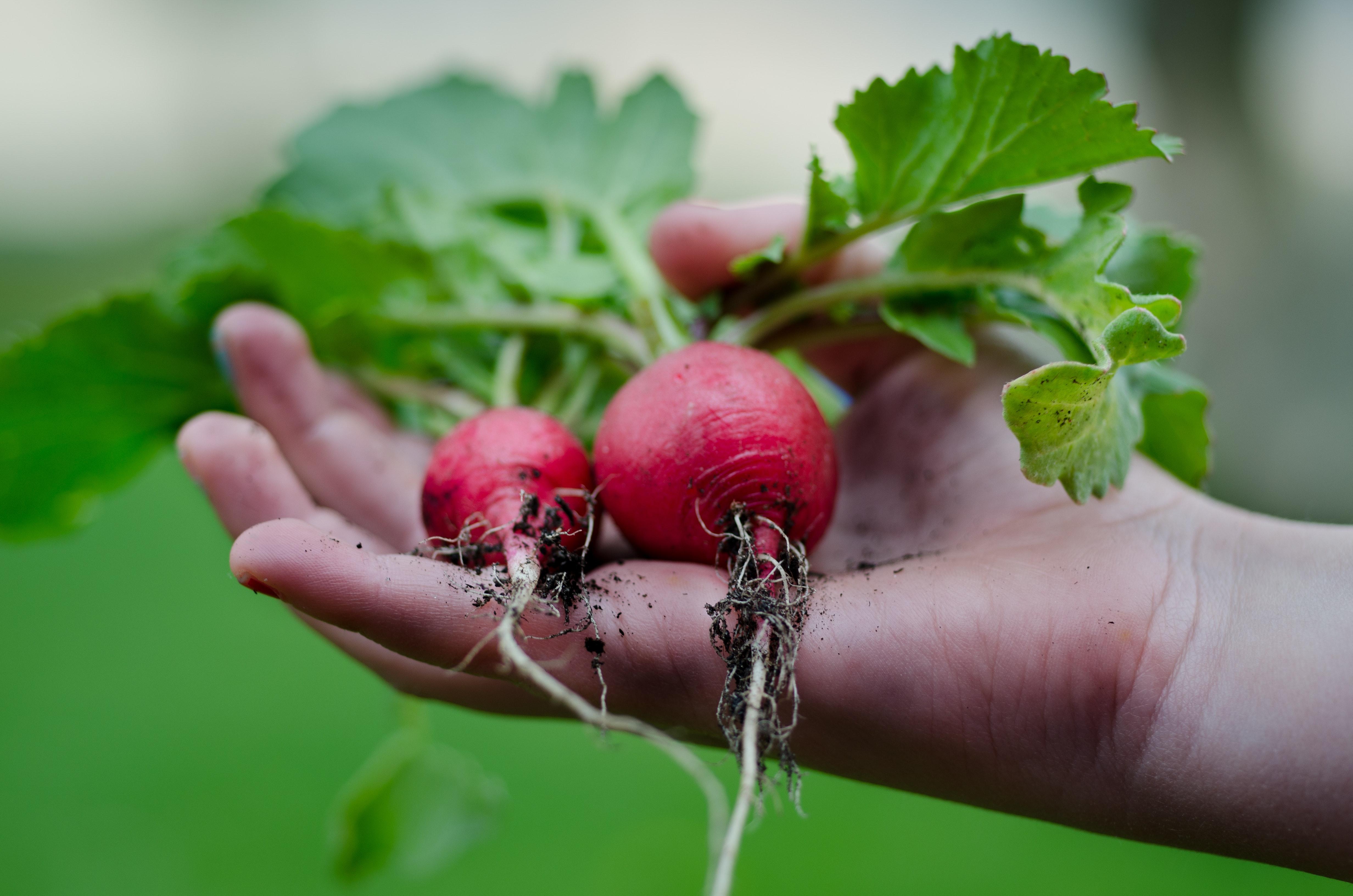 Radishes and gardening