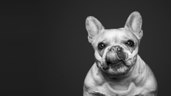 french bulldog for humankind