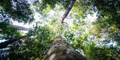 A picture of trees in the Gola Rainforest, Sierra Leone