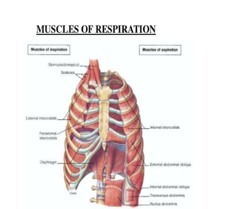 Inspiratory%20muscles