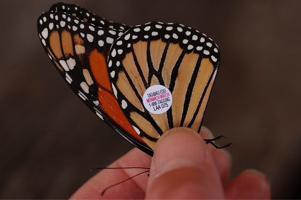 A tagged butterfly, photo by Derek Ramsey.