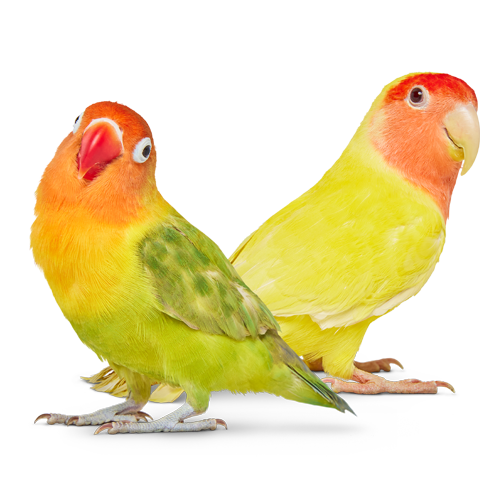 Two colorful birds sitting together and connecting