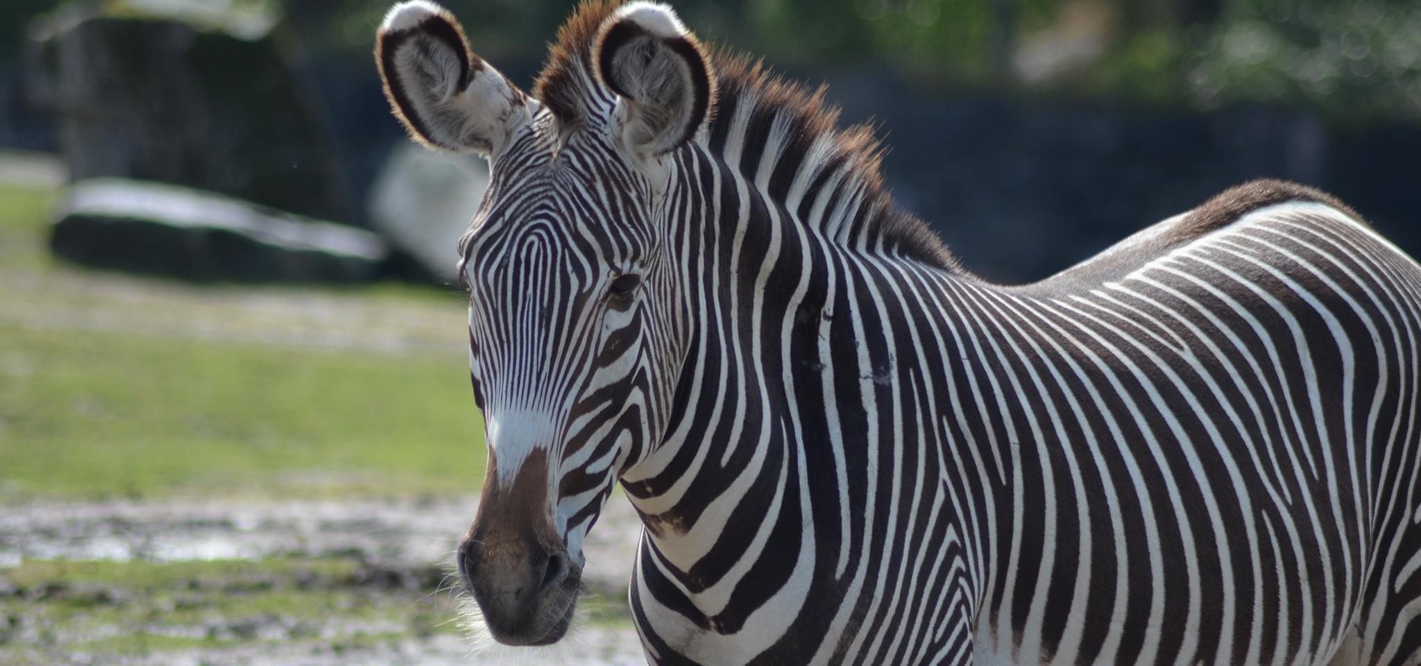 Forumaš iznad u liku životinje - Page 8 Zebra-desktop