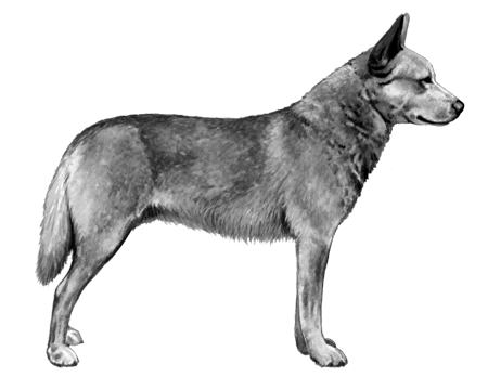 Australian Cattle Dog - B&W