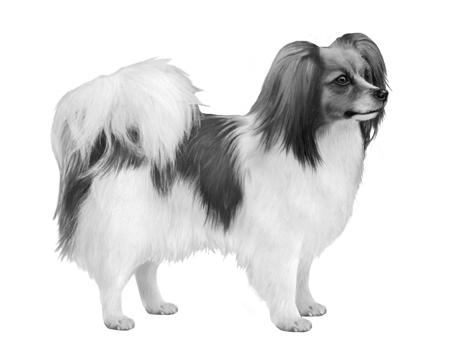 Continental Toy Spaniel B&W Small File