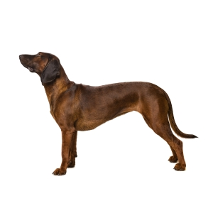 Bavarian Mountain Hound (1)