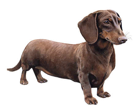 Miniature Shorthaired Dachshund