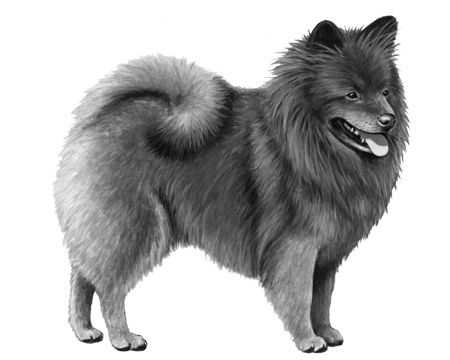 German Spitz - B&W