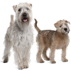 Soft Coated Wheaten Terrier - carousel