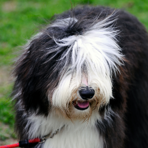 Old English Sheepdog - carousel