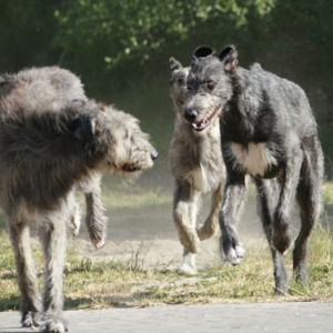 Scottish Deerhound - carousel