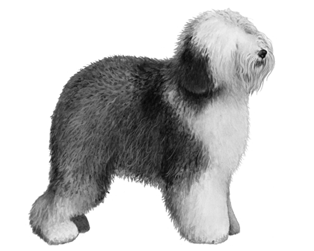 Old English Sheepdog - B&W