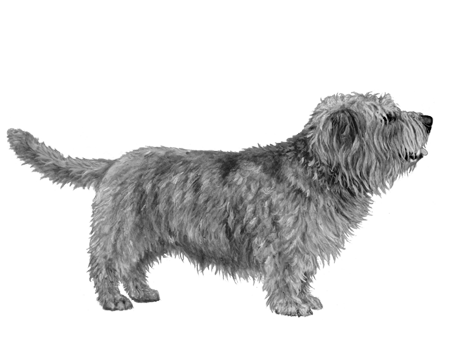 Glen of Imaal Terrier - B&W