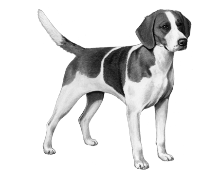 English Fox Hound - B&W