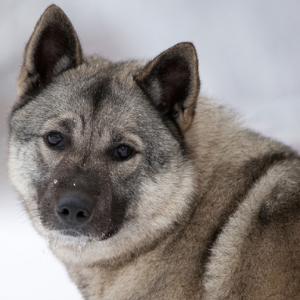 Norwegian Elkhound - carousel