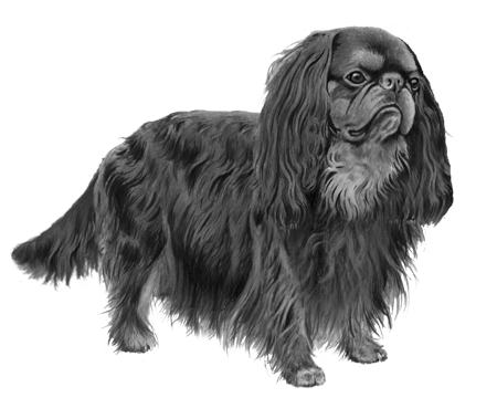 English Toy Spaniel - B&W