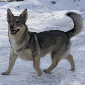 Swedish Vallhund - carousel