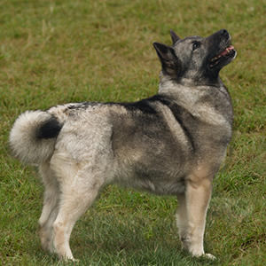 Norwegian Buhund Facts Wisdom Panel Dog Breeds