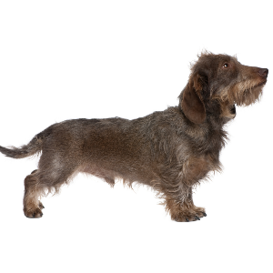 Dachshund (Wirehaired) - carousel