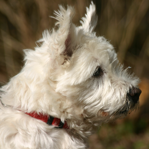 West Highland White Terrier - carousel