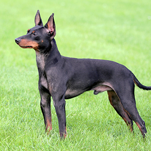 English Toy Terrier 300x300-1